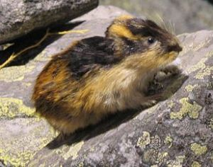 Lemming on a Rock